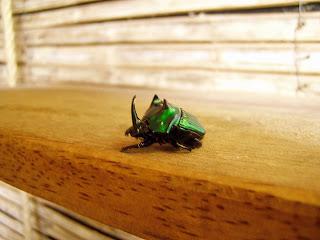 Escarabajo. Tambopata