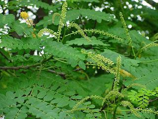 Sing Buri Tree
