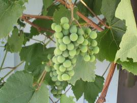 Egna vindruvor