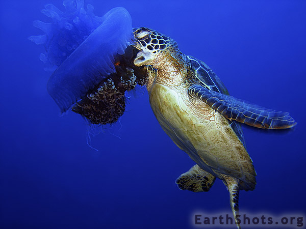 The cockroach catcher ecology giant jellyfish sea turtles for What do fish see