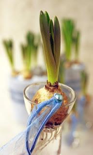 blå pärlhyacint