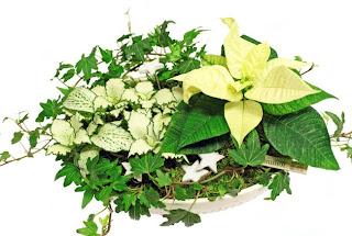 vit julstjärna murgröna åderblad