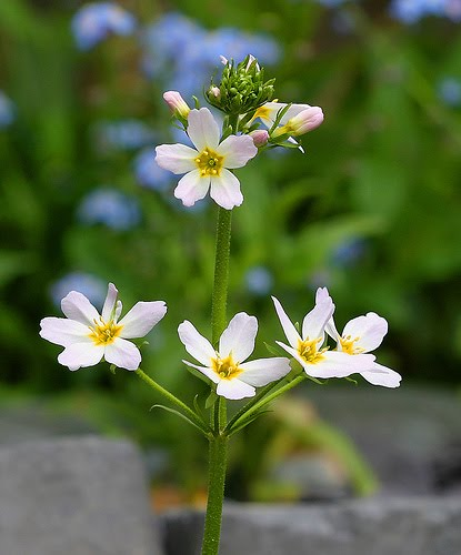 WATER VIOLET - Hottonia palustris