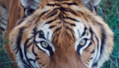 Demostenes tigre de bengala los ojos y orejas de asia for Bengala asia