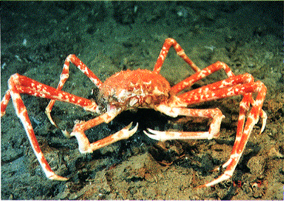 Spider crab - photo#15
