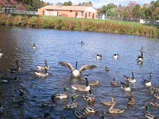 Swans and ducks, doing their thing