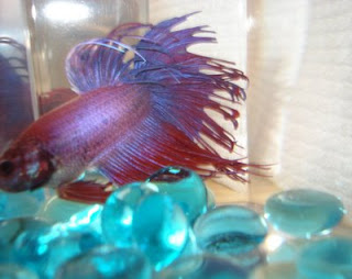 crowntail