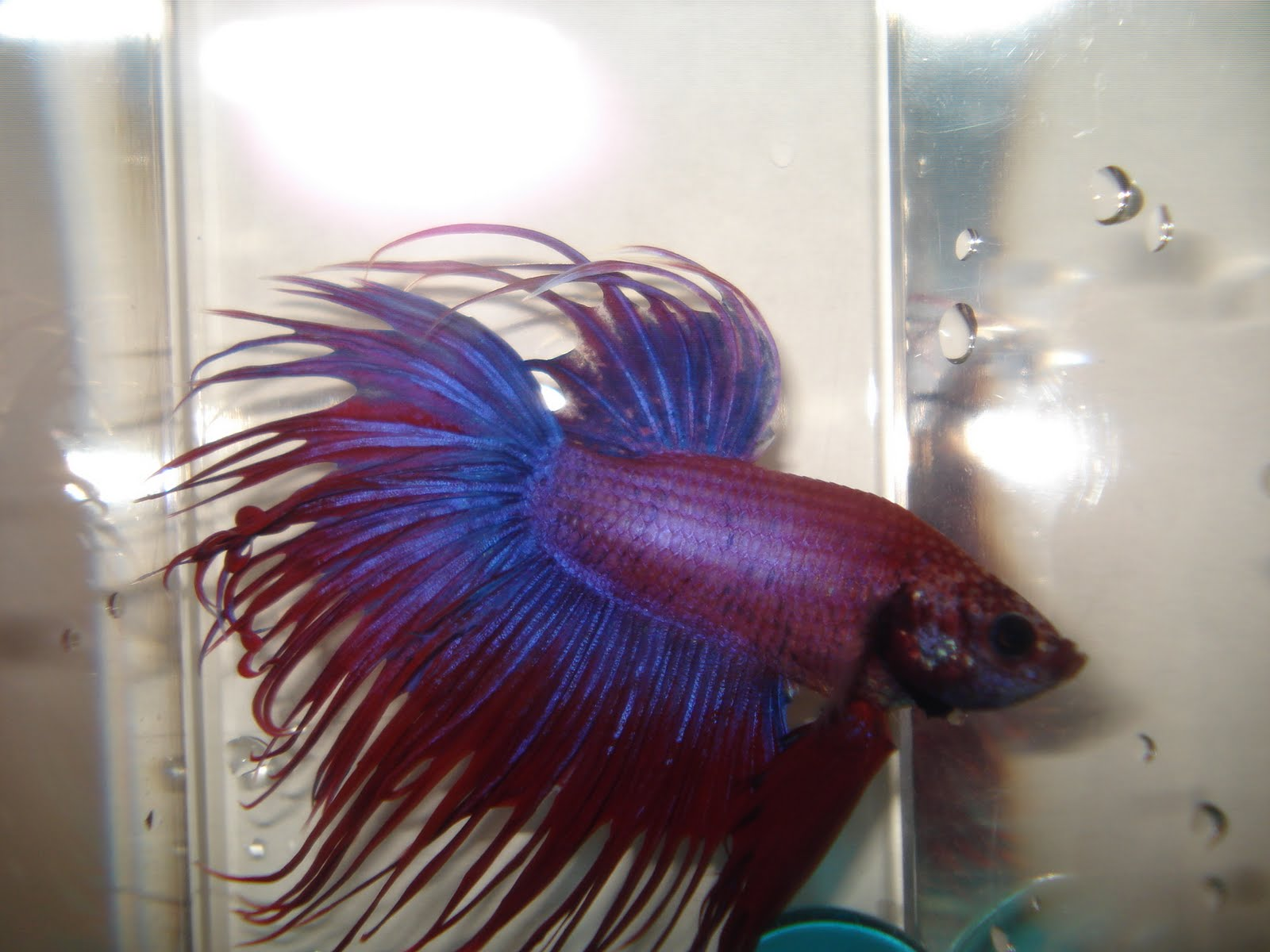 Bettas September 2010