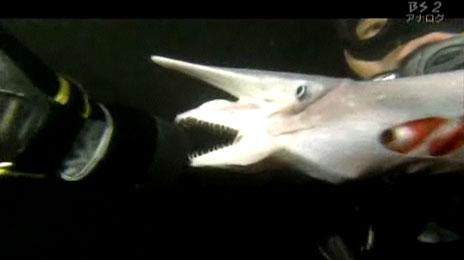 a goblin shark