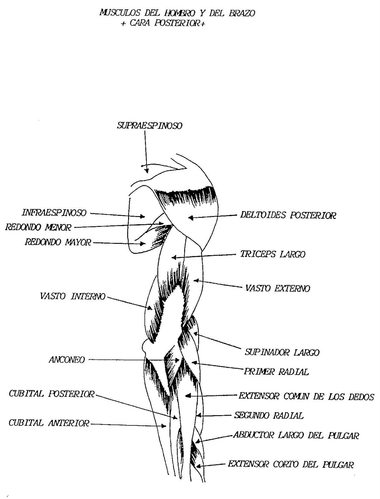 Músculos del hombro y del brazo (cara posterior) | DIARIO DE UN ...