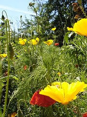 Califonian poppies