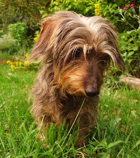 Bonnie a wire haired miniature Dachshund at 8 years old