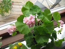 fönster blommor