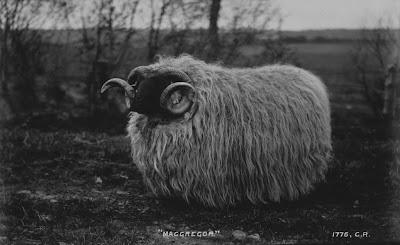 gay sheep scotland