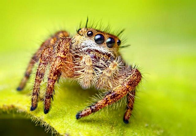 Laba-laba Unik Suka Dengan Bau Kaus Kaki