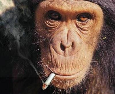 gambar monyet merokok