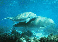 Dugongs swimming