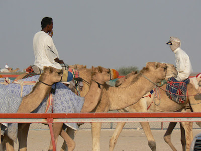 Camels on the racing track
