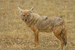 The fur of this Golden Jackal blends in with the yellow grass behind it.