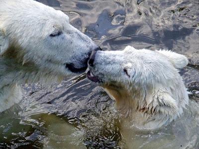 Two polar bears kiss.