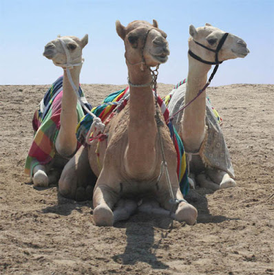 Three camels kneel upon the desert floor