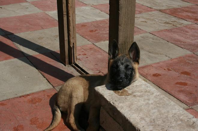 Mali pup