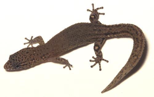 U S Lizard P i g g y l i c...