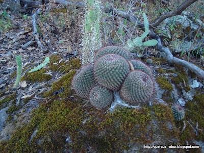 Nopal y un grupo de cactus