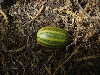 Fruto en el bosque subcaducifolio - Cerro Grande de Ameca