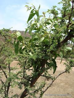 arbusto esponoso