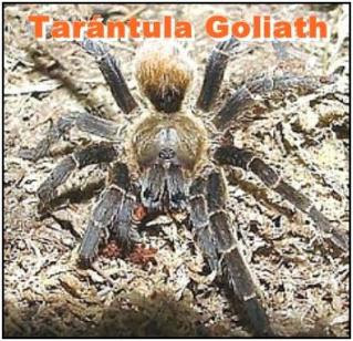 tarantula goliath