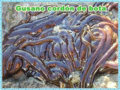 gusano cordon de bota