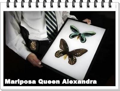mariposa queen alexandra