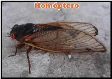 homoptero