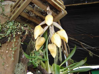 stanhopea sp, orquidea