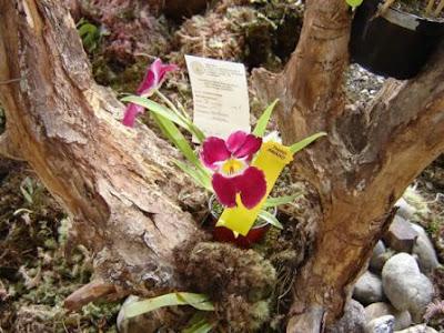 midonia hibrida, orquidea