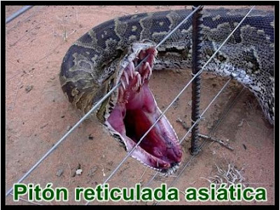 piton reticulada asiatica