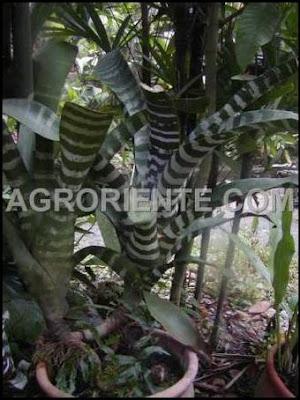 aechmea chantinii (bromelia), foto del sitio agroriente