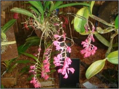 flores en el xiv festival de la orquidea 2009, moyobamba