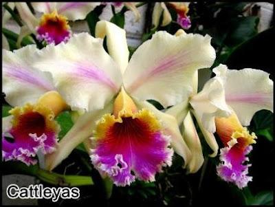 orquidea cattleya rex, imagen de peru orchids