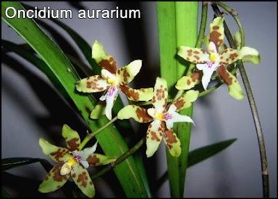 orquidea oncidium aurarium_foto de peru orchids