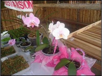 phalaenopsis en el xiv festival de la orquidea 2009 (moyobamba)