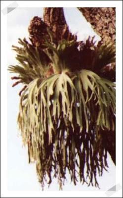 helecho platycerium, foto de la web platycerium