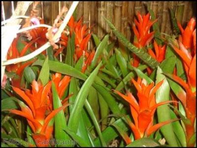 guzmanias rojas en el xiv festival de la orquidea 2009 (moyobamba)