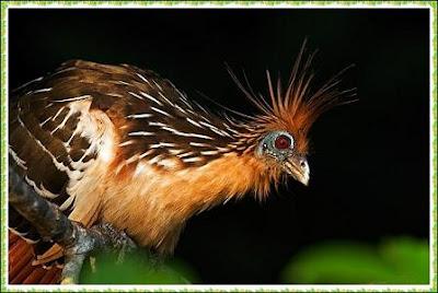 hoatzin o shansho (opisthocomus hoazin)