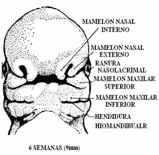 formacion de las fosas nasales