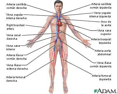 Tesis de Investigadores: El sistema Circulatorio Humano. Con Video.