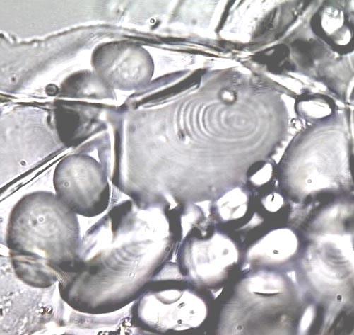 external image amyloplast.jpg