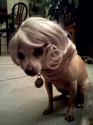 chihuahuas in wigs why because it s funny so there