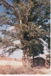 Los árboles de San Roque